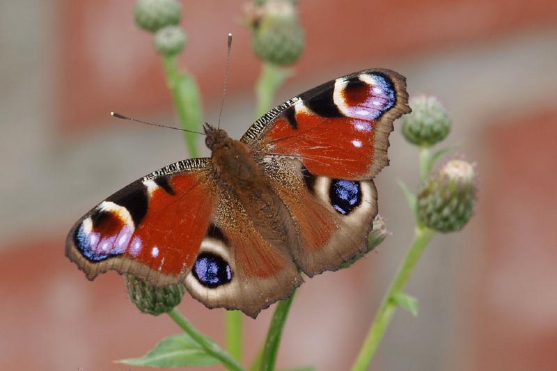 Раненая бабочка
