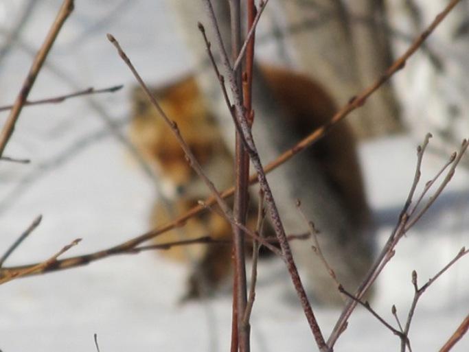 Лисичка на обочине